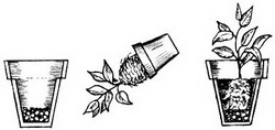 Способы пересадки комнатных растений