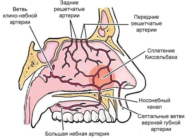 Кровеносные сосуды в носу